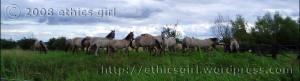 Konik Ponies at Wicken Fen