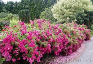 Rose wall, Wicken
