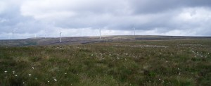 Wind turbines, with cotton grass in foreground